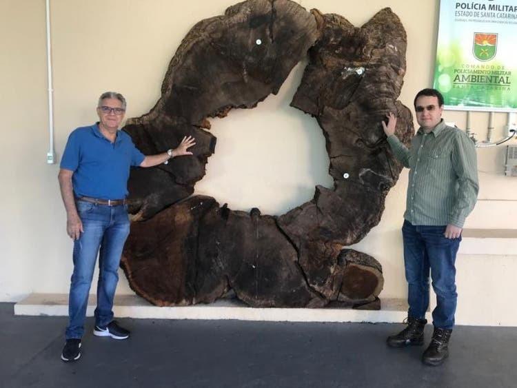 Árvore gigante mais antiga que o descobrimento do Brasil foi derrubada para virar cerca